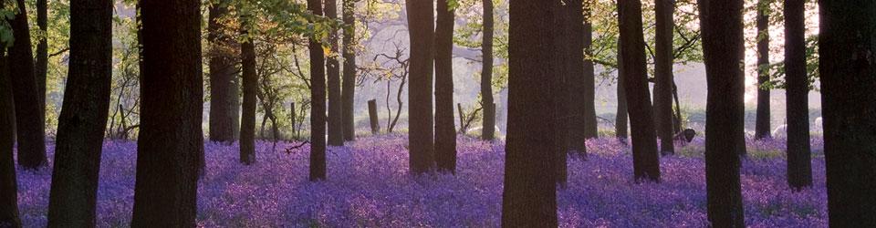 Blue Bell Wood